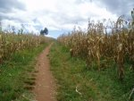 growing maize is one of our sustainable projects. the profit goes to help pay for the day to day running of the school