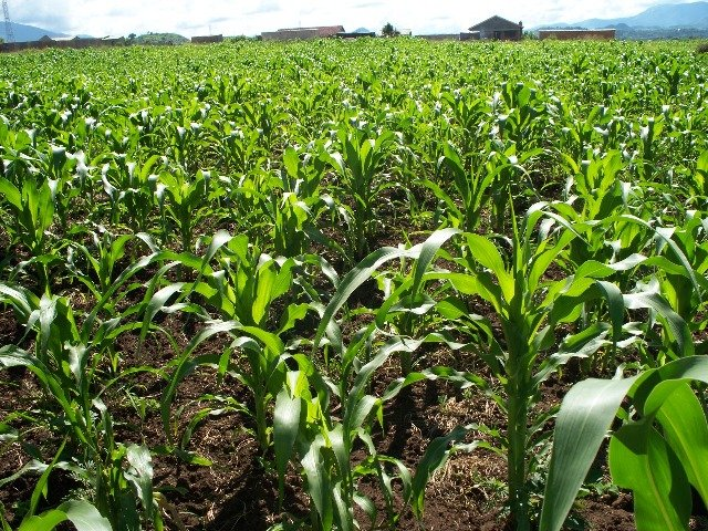 Maize growing on school land will provide income to replant next year and profit for the school